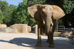 Elephant in the Zoo. Royalty Free Stock Images