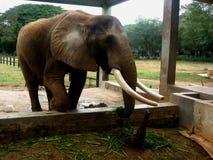 Elephant in zoo Stock Image