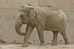 Elephant zoo african animal zoological Stock Images