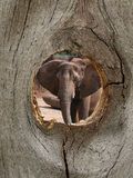 Elephant Zoo Animal in Fence Knot Hole Stock Image