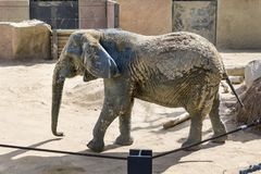Elephant in a zoo. Elephant in the Barcelona zoo Stock Image