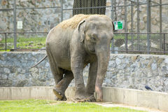 Elephant in zoo Stock Images