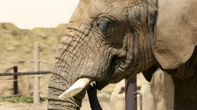 An elephant. In Zoo in central bohemia Stock Photography