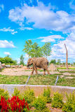 Elephant in a zoo. A colorful and bright picture of an elephant walking in a natural habitat in a zoo with blue sky and clouds Royalty Free Stock Images