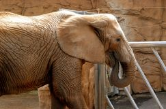 Elephant in zoo Stock Photography
