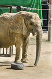 Elephant in a zoo. Elephant in the Barcelona zoo Stock Photography