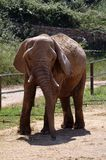 Elephant at the zoo. An elephant, a male with white tusks. In the enclosure of the zoo. It is in the sun. Against the background of green plants Stock Photos
