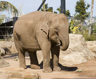 Elephant in a zoo enclosure Stock Photo