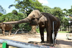 Elephant. In zoo Ho Chi Minh City Royalty Free Stock Images