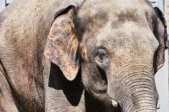 An elephant at the zoo Royalty Free Stock Photos
