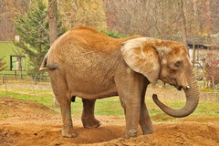 ELEPHANT - ZOO - HUNGARY Royalty Free Stock Photo