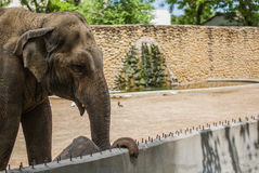 Elephant at Zoo Royalty Free Stock Photo