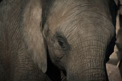 Elephant, Zoo, Pachyderm, Head Stock Images