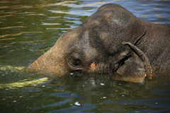 The elephant in a zoo in Prague, Czech Republic Royalty Free Stock Photo