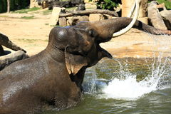 The elephant in a zoo in Prague, Czech Republic Royalty Free Stock Image