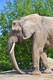 Elephant in Toronto Zoo Stock Images