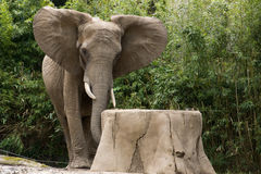 Elephant in the zoo with a tree trunk Stock Image