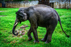 Young elephant with canine tooth Stock Photo