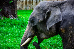 Closeup photo of young elephant with canine tooth Stock Photo