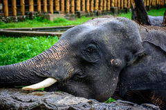 Closeup photo of young elephant with canine tooth Royalty Free Stock Images