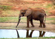 Elephant1. Elephant pausing at watering hole Royalty Free Stock Photos