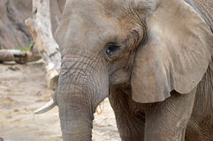Elephantasy Stockbild