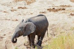 Elephanteau recherchant un point d'eau en parc de Tarangire dans Tanzani image stock