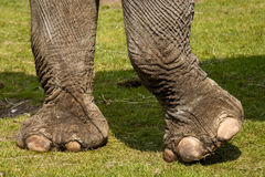 Elephantfeet Royalty Free Stock Image