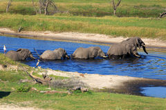 Elephantherd. At the Boteti river Royalty Free Stock Photography