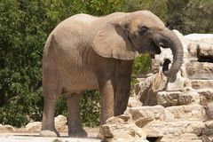 Elephantidae Royalty Free Stock Photography