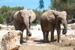 Elephantidae Stock Photos