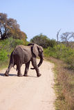 Elephant on road. Male elephant on the road in Kruger Narional Park, South Africa Stock Photos