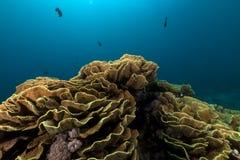 Κοράλλι αυτιών ελεφάντων (elephantotus mycedium) στη Ερυθρά Θάλασσα. Στοκ Εικόνες