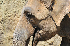 elephantportrait 图库摄影