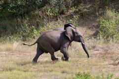 Free Elephants Royalty Free Stock Images - 10354939