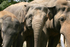 Elephants. Elephant bull and two young females in a zoo in Holland Royalty Free Stock Photo
