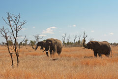 Elephants. Group of beautiful african elephants in South Africa royalty free stock images