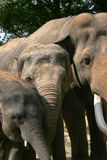 Elephants. Elephant bull with two females in a zoo in Holland Stock Photos