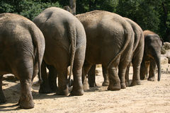 Elephants. Row of elephants bull with a baby elephant a zoo in Holland Royalty Free Stock Photo