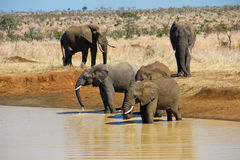 Elephants. Group of african elephants drinking from a pond stock photos