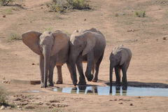 Elephants. African elephants having a drink of water Royalty Free Stock Photo