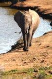 Elephants. African elephants enjoying their environment Stock Photos