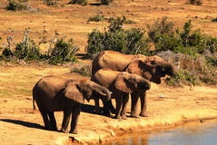 Elephants. African elephants drinking water at teh same time Royalty Free Stock Photography