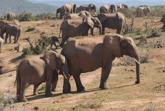 Elephants. African elephants enjoying their environment - sleeping Stock Photos