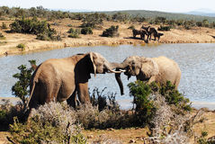 Elephants. A pair of African bull elephants fighting Royalty Free Stock Photo