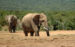 Elephants. Two active African elephant bulls with big ears, trunk and tusks are walking in the Addo Park in South Africa next to a water hole where a herd of Stock Photo