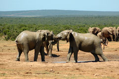 Elephants. Two active African elephant bulls with big ears and tusks fighting together with their trunks in a game park in South Africa. The herd of elephants Stock Image