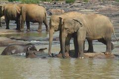 Elephants. Bathing at the Pinnawela Elephant Orphanage, Sri Lanka Royalty Free Stock Photos