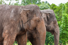 Elephants Royalty Free Stock Images