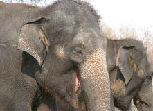 Elephants. An Elephant resting with a friend stock photography